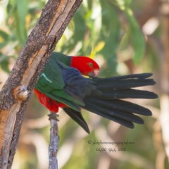 Alisterus scapularis (Australian King-parrot) at Bald Hills, NSW - 3 Jun 2018 by JulesPhotographer
