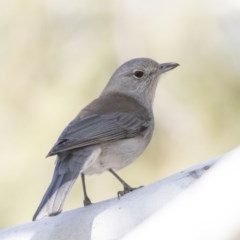 Colluricincla harmonica (Grey Shrike-thrush) at Jerrabomberra Wetlands - 25 May 2018 by Alison Milton