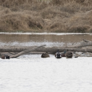 Spatula rhynchotis at Jerrabomberra Wetlands - 28 May 2018