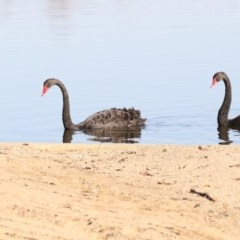 Cygnus atratus (Black Swan) at Lake Burley Griffin Central/East - 25 May 2018 by Alison Milton