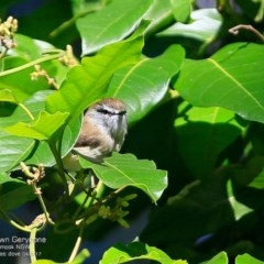 Gerygone mouki (Brown Gerygone) at Undefined - 27 Apr 2017 by Charles Dove
