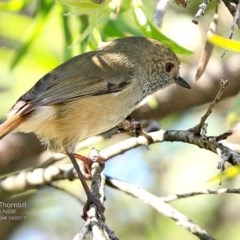 Acanthiza pusilla (Brown Thornbill) at Undefined - 25 Apr 2017 by Charles Dove