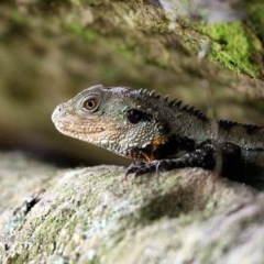 Intellagama lesueurii howittii (Gippsland Water Dragon) at Undefined - 26 Apr 2017 by Charles Dove