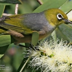 Zosterops lateralis (Silvereye) at Garrad Reserve Walking Track - 22 Apr 2017 by Charles Dove