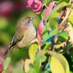 Acanthiza lineata (Striated Thornbill) at Undefined - 26 Apr 2017 by Charles Dove
