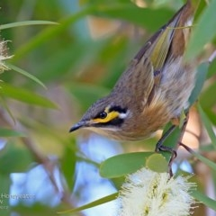 Caligavis chrysops (Yellow-faced Honeyeater) at Garrad Reserve Walking Track - 23 Apr 2017 by Charles Dove