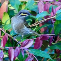 Caligavis chrysops (Yellow-faced Honeyeater) at Undefined - 24 Apr 2017 by Charles Dove