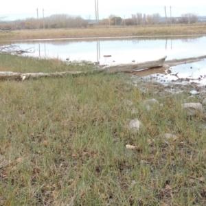 Schoenoplectus pungens at Jerrabomberra Wetlands - 28 May 2018