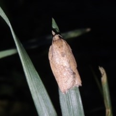 Epiphyas postvittana (Light Brown Apple Moth) at Conder, ACT - 26 Nov 2017 by michaelb