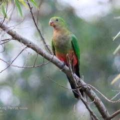 Alisterus scapularis (Australian King-parrot) at Burrill Lake Aboriginal Cave Walking Track - 11 Apr 2017 by Charles Dove