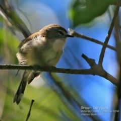 Gerygone mouki (Brown Gerygone) at Ulladulla - Millards Creek - 9 Apr 2017 by Charles Dove