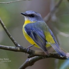 Eopsaltria australis (Eastern Yellow Robin) at Ulladulla - Millards Creek - 9 Apr 2017 by Charles Dove