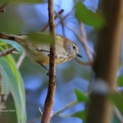 Acanthiza lineata (Striated Thornbill) at Ulladulla - Millards Creek - 9 Apr 2017 by Charles Dove