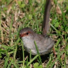 Malurus cyaneus (Superb Fairy-wren) at Undefined - 11 Apr 2017 by Charles Dove
