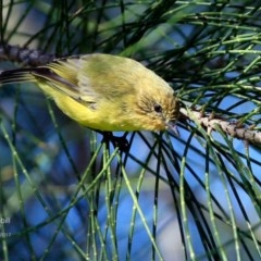 Acanthiza nana (Yellow Thornbill) at Undefined - 13 Apr 2017 by Charles Dove