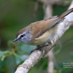 Gerygone mouki (Brown Gerygone) at Undefined - 5 Apr 2017 by Charles Dove