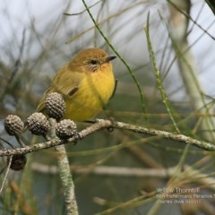 Acanthiza nana (Yellow Thornbill) at Undefined - 6 Apr 2017 by Charles Dove