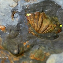Brachiopoda Rhynchonellida (Rhynchonella Brachiopod) at Undefined - 3 Apr 2018 by Charles Dove
