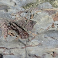 Bryozoan Fenestella (Fenestella Bryozoan or Sea Fan) at Undefined - 3 Apr 2018 by Charles Dove