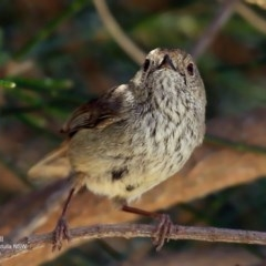 Acanthiza pusilla (Brown Thornbill) at Coomee Nulunga Cultural Walking Track - 29 Sep 2016 by Charles Dove