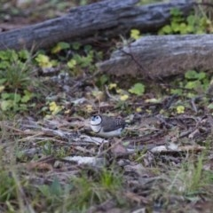 Taeniopygia bichenovii (Double-barred Finch) at Illilanga & Baroona - 18 Jun 2012 by Illilanga