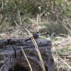 Taeniopygia bichenovii (Double-barred Finch) at Michelago, NSW - 19 Mar 2018 by Illilanga