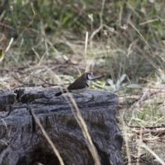 Taeniopygia bichenovii at Michelago, NSW - 19 Mar 2018