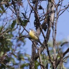 Gerygone olivacea (White-throated Gerygone) at Illilanga & Baroona - 11 Feb 2012 by Illilanga