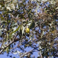 Gerygone olivacea (White-throated Gerygone) at Michelago, NSW - 30 Nov 2014 by Illilanga