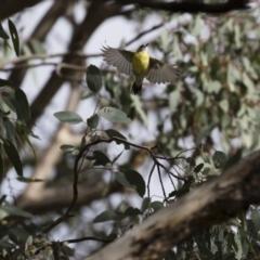 Gerygone olivacea at Michelago, NSW - 16 Jan 2018
