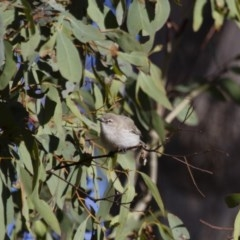 Gerygone fusca (Western Gerygone) at Illilanga & Baroona - 24 Sep 2012 by Illilanga