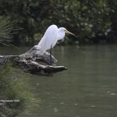 Ardea alba (Great Egret) at Narrawallee Bushcare - 25 Sep 2016 by Charles Dove