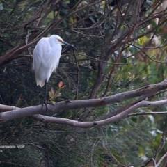 Egretta garzetta (Little Egret) at Narrawallee Bushcare - 25 Sep 2016 by Charles Dove