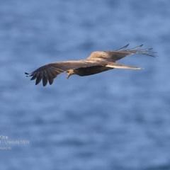 Haliastur sphenurus (Whistling Kite) at Coomee Nulunga Cultural Walking Track - 29 Sep 2016 by Charles Dove