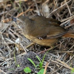 Sericornis frontalis (White-browed Scrubwren) at Coomee Nulunga Cultural Walking Track - 28 Sep 2016 by Charles Dove
