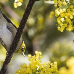 Zosterops lateralis (Silvereye) at Illilanga & Baroona - 1 Oct 2012 by Illilanga