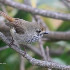Acanthiza pusilla (Brown Thornbill) at Coomee Nulunga Cultural Walking Track - 20 Sep 2016 by Charles Dove