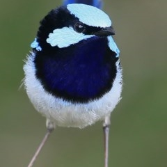 Malurus cyaneus (Superb Fairy-wren) at Coomee Nulunga Cultural Walking Track - 28 Sep 2016 by Charles Dove