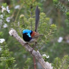 Malurus lamberti (Variegated Fairy-wren) at Coomee Nulunga Cultural Walking Track - 26 Sep 2016 by Charles Dove
