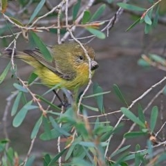 Acanthiza nana (Yellow Thornbill) at Undefined - 29 Sep 2016 by Charles Dove