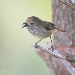 Acanthiza pusilla (Brown Thornbill) at Coomee Nulunga Cultural Walking Track - 16 Sep 2016 by Charles Dove