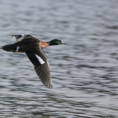Anas castanea (Chestnut Teal) at Wairo Beach and Dolphin Point - 11 Sep 2016 by Charles Dove
