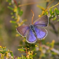 Zizina otis labradus (Common Grass-blue) at South Pacific Heathland Reserve - 13 Sep 2016 by Charles Dove