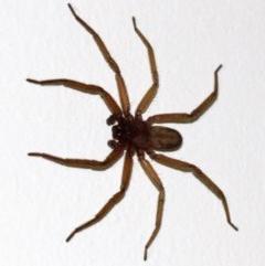 Hemicloea sp. (Flat bark spider) at Undefined - 1 Jun 2018 by jbromilow50