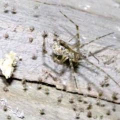 Cryptachaea gigantipes (White porch spider) at Undefined - 1 Jun 2018 by jbromilow50