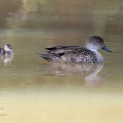 Anas castanea (Chestnut Teal) at Undefined - 4 Sep 2016 by Charles Dove