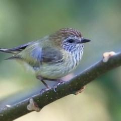 Acanthiza lineata (Striated Thornbill) at Undefined - 2 Sep 2016 by Charles Dove