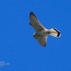 Falco cenchroides (Nankeen Kestrel) at Coomee Nulunga Cultural Walking Track - 23 Oct 2016 by Charles Dove