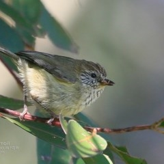 Acanthiza lineata (Striated Thornbill) at Undefined - 21 Oct 2016 by Charles Dove