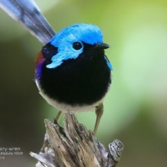 Malurus lamberti (Variegated Fairy-wren) at Coomee Nulunga Cultural Walking Track - 17 Oct 2016 by Charles Dove